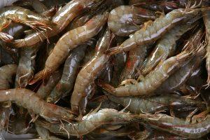 Vannamei Shrimp Whiteleg Penaeus